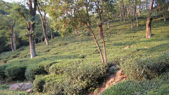 Hotel White Haven Palace Estate: the tea estate around