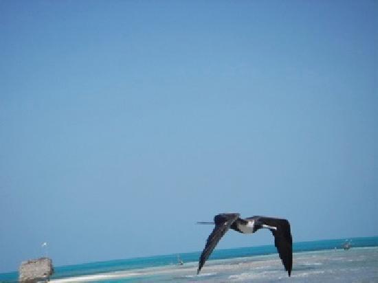Long Caye Resort: Long Caye Frigate Bird
