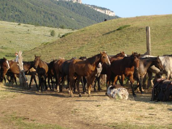 TX Ranch: Geldings coming in from a night on pasture