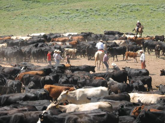 Lovell, WY: Working Cattle