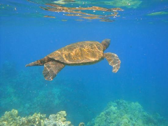 Makena Surf: Another Trutle