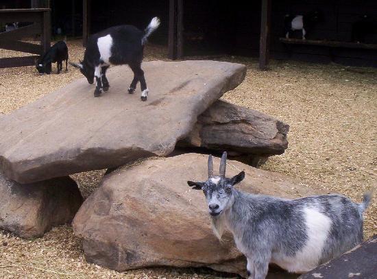 Dillard House: petting zoo