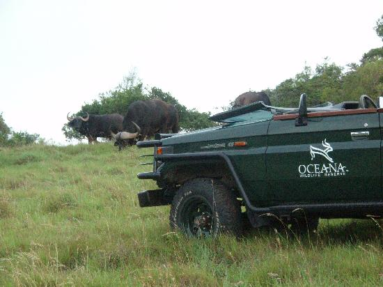 Oceana Beach and Wildlife Reserve: We got so close to the cape buffalo