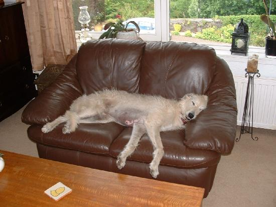 Castlecroft: Owners Scottish deerhound relaxing in the lounge