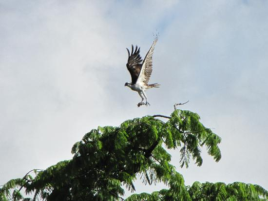 Amazonia Expeditions' Tahuayo Lodge: Osprey with fish in talons