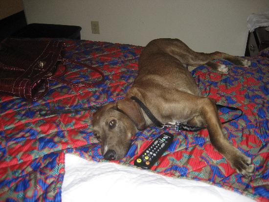 ريد روف إن بلس+ راليه إن سي إس يو - كونفنشن سنتر: Austin, The dog who set the fire, relaxing at the Red Roof