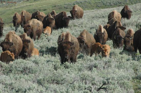 Big Moose Resort: Bison cows and calves in Lamar Valley, Yellowstone