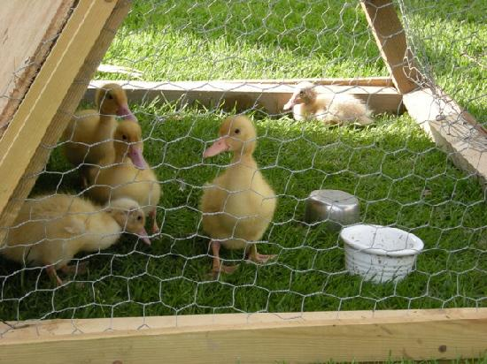 Ducklings on Shaftsboro Farm