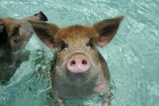 Grand Isle Resort & Spa : swimming pigs