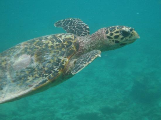 Biyadhoo Island Resort: One of the friendly turtles