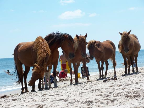 Assateague Island, แมรี่แลนด์: Come and join us!