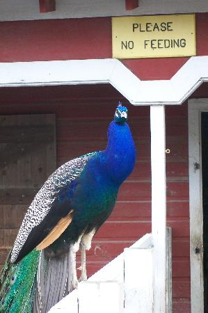 Virginia Zoo: free-roaming peacocks