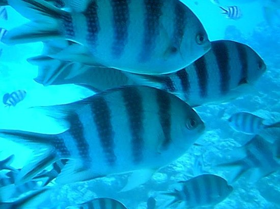 Bora Bora, Fransk Polynesia: more fishies!