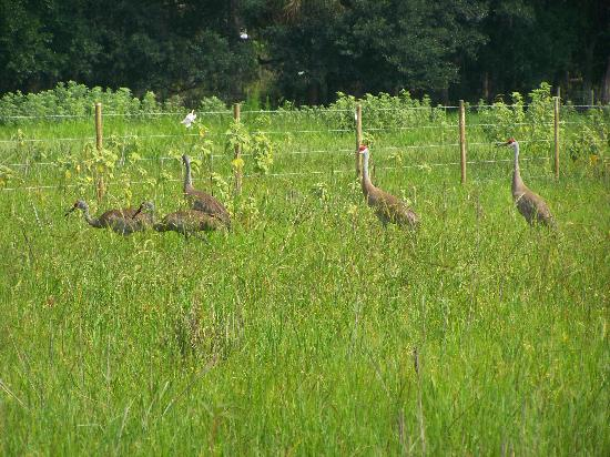 Captain Fred's Airboat Nature Tours: family of cranes