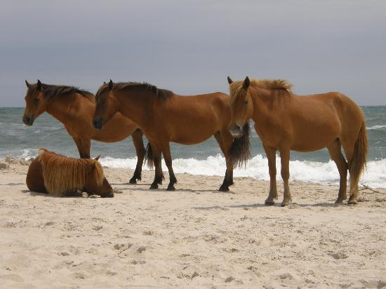 Assateague Island National Seashore: horses on the beach