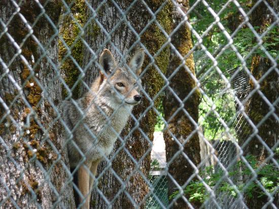 Wolf Haven International: The cayote posing in a tree