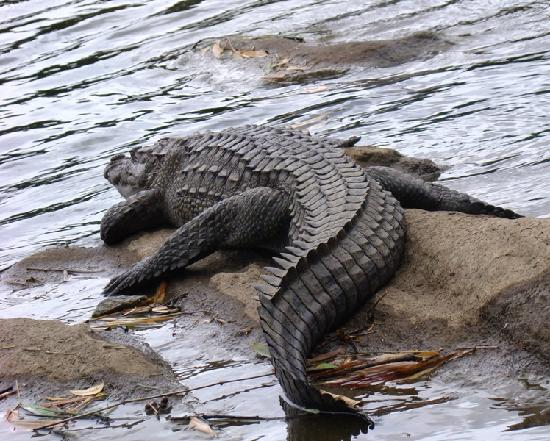 Ranganathittu Bird Sanctuary: Resident croc at Ranganathittu