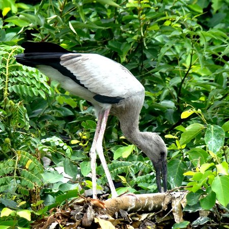 Ranganathittu Bird Sanctuary : Ranganathittu - open billed stork