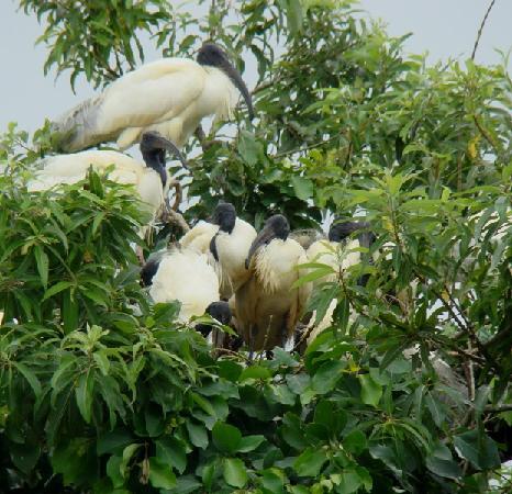 Ranganathittu Bird Sanctuary: Ranganathittu - Black Ibis