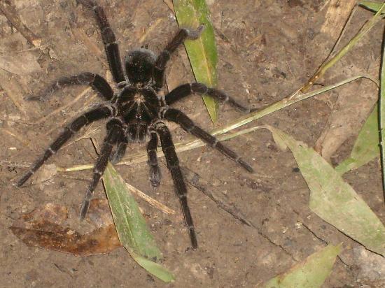 Amazon Rainforest: the tarantulas