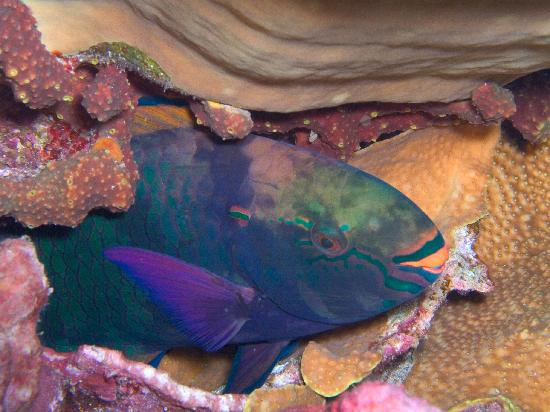 Kosrae Village Ecolodge & Dive Resort: Redtail Parrotfish, photo by Katrina Adams