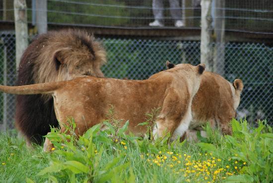 Blair Drummond Safari and Adventure Park: lion