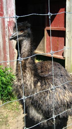 The Warfield House Inn: Emus!