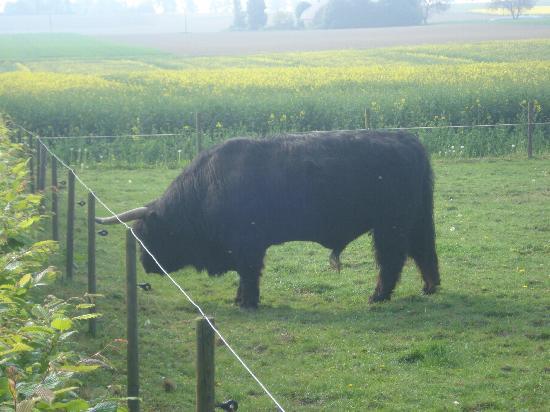 Ferienwohnung Westerhoff: the bulls