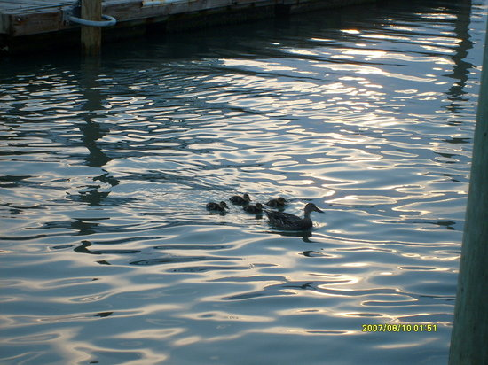 P.T. Pelican's Intercoastal Deck Bar: Ducks in the water just outside the restaurant