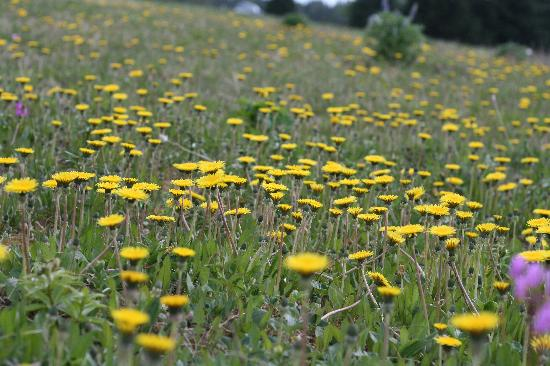 Homestead Bed & Breakfast: No, not a flowerbed, wild flowers everywhere