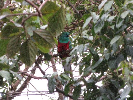 Guadalupe, Panamá: Quetzal seen from our Cabana