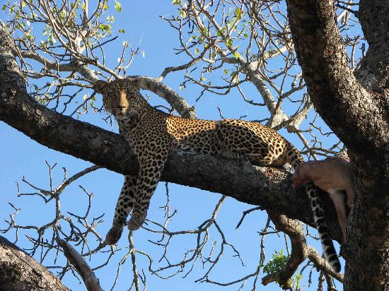 Arathusa Safari Lodge: leopard with kill in the tree