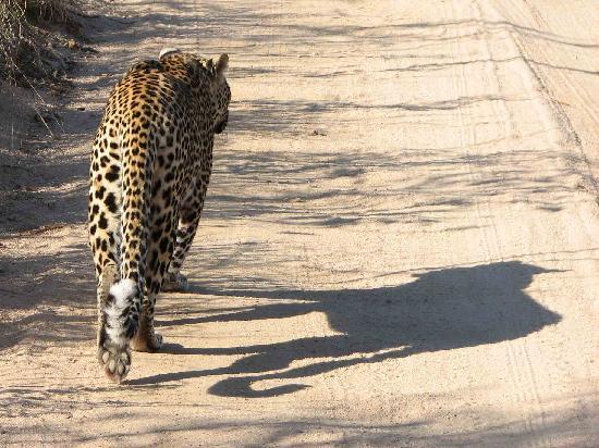 Arathusa Safari Lodge: shadow of the leopard