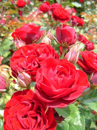 Ishioka, Japan: Red roses at Ibaraki Flower Park