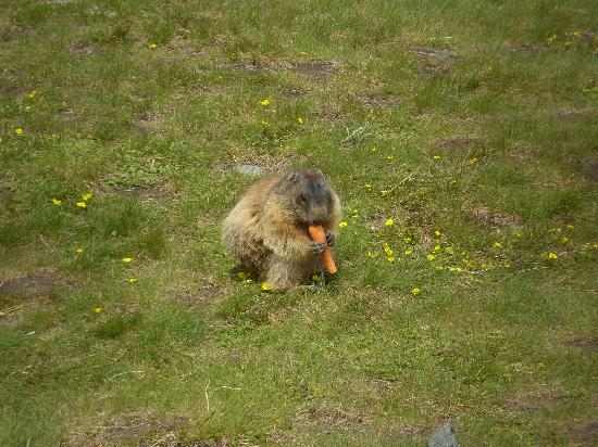 Hotel St. Georg: marmot on grossglockner