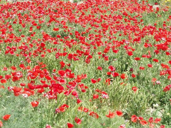 Isola di Mozia (Mothia)/ San Pantaleo : Campo di papaveri