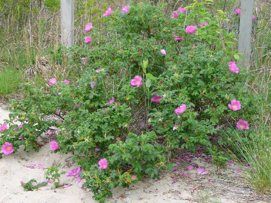 Lewes, DE: Flowers at entrance to beach along trail at Cape Henlopen State Park