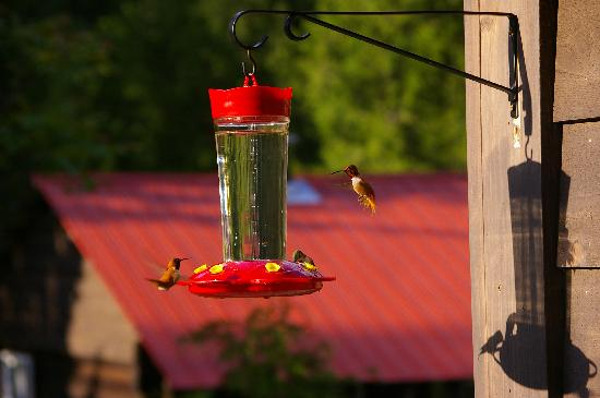 Kaslo, Canada: Multi-coloured humming birds