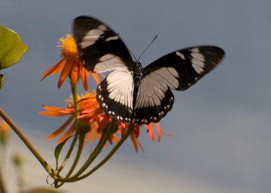Villas on Great Bay: visite chez les papillons