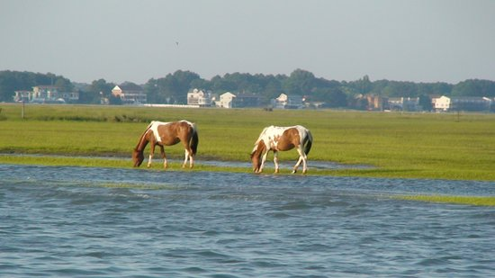 Chincoteague Island, VA: More Ponies