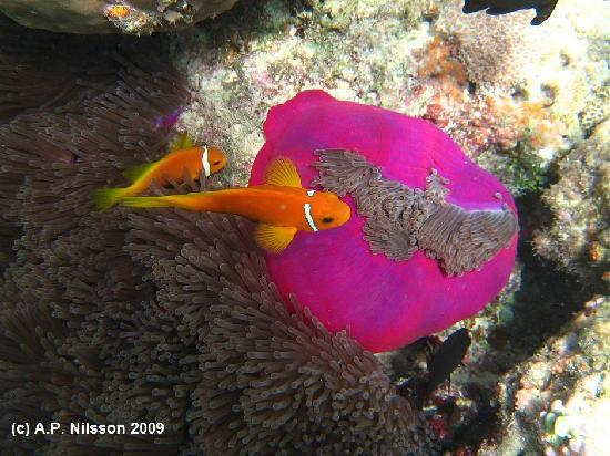 Filitheyo Island Resort: Nemo fishes with their purple anemone