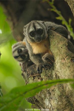 Amazon Yarapa River Lodge: Noisy Night Monkey is a rare sights in the wild