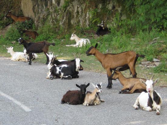 Résidence Sognu di Rena : Goats in Road!