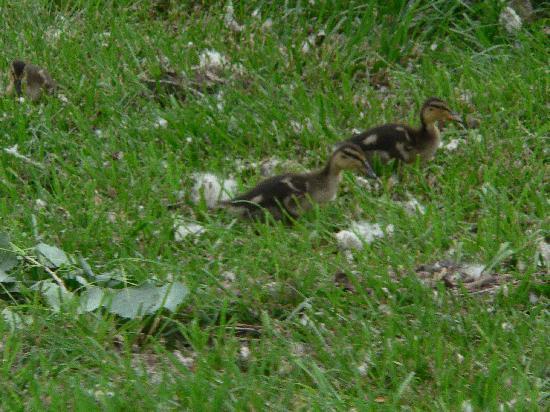 Hills Inn : Ducks along the park/walkway to downtown