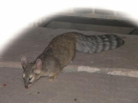 Farmington, NM: Ringtail Cat