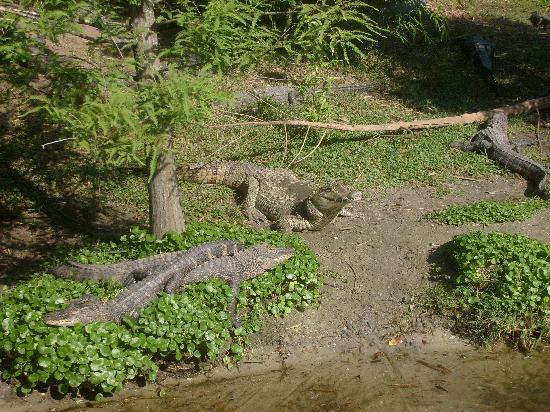 The Croc Doc Feeding Utan Picture Of Alligator Adventure