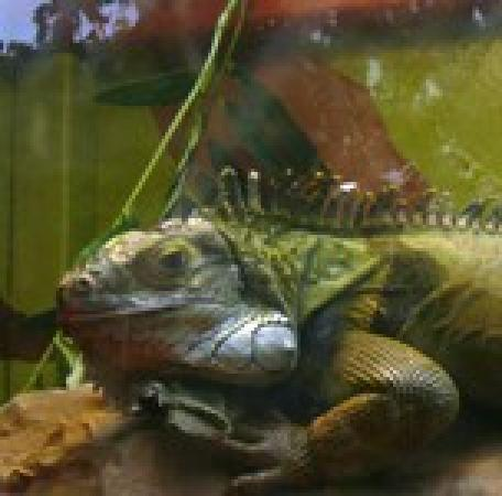 South Deerfield, MA: Igor the Iguana