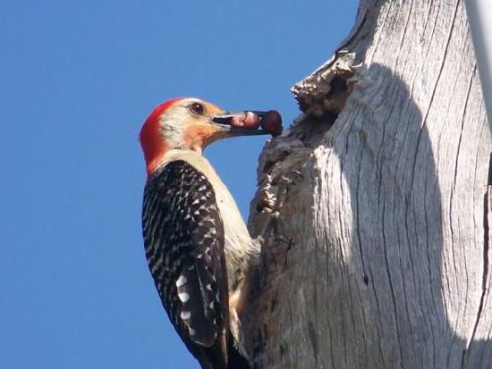 A-Bayview Bed and Breakfast: woodpecker feeding babies