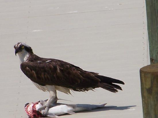 A-Bayview Bed and Breakfast: Lucy. the Osprey