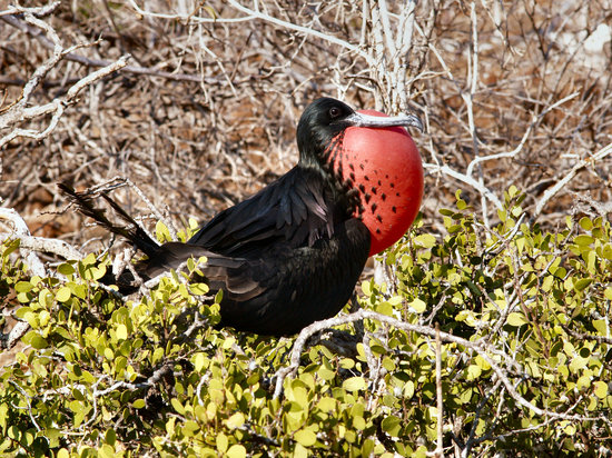 Islas Galápagos, Ecuador: Magnificent frigatebird displaying, on North Seymour Island